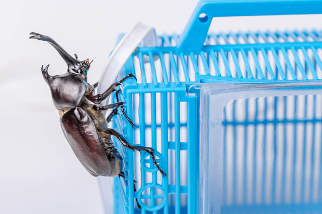japanese tiger beetle on cage
